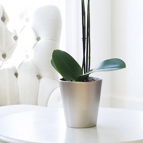 Orchid Plant - White