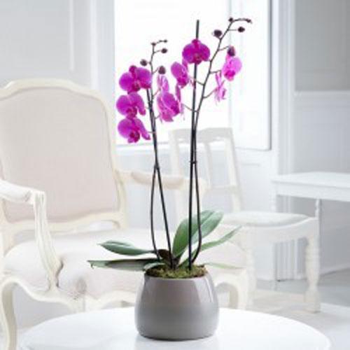 Orchid Plant - Purple